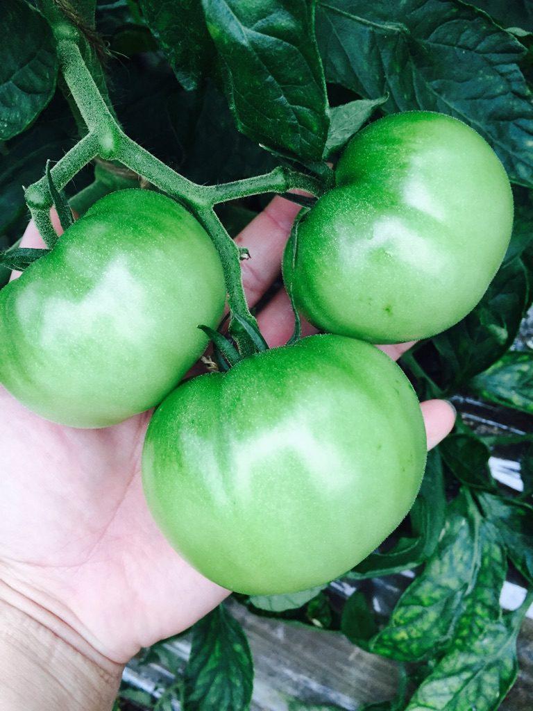 川西さんのこだわりのトマト