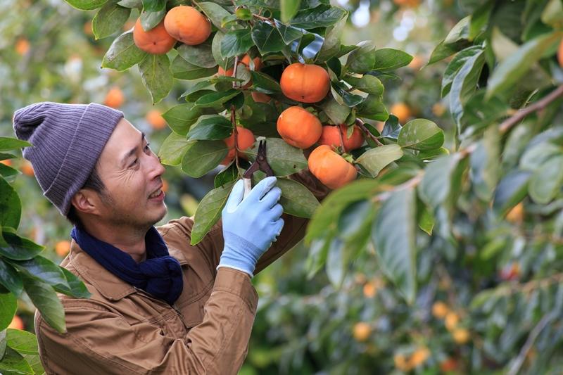 柿の収穫風景
