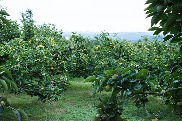 サカヤ農園柿園